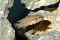 Telmatochromis vittatus/Neolamprologus leleupi
