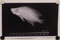 Altolamprologus compressiceps (radiographie)