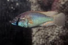 Astatotilapia burtoni (en aquarium)