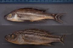 Comparaison des Benthochromis tricoti et horii