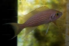 Neolamprologus olivaceus (en aquarium)