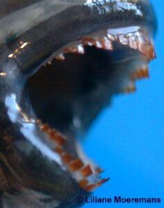 Spathodus erythrodon (denture)
