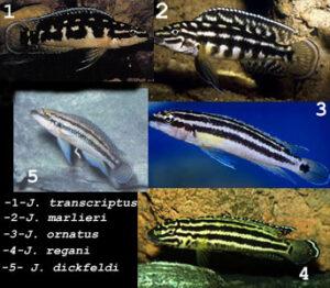 Différentes espèces de Julidochromis