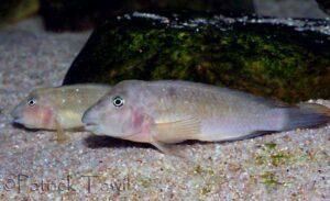 Spathodus marlieri, couple sauvage, en aquarium.