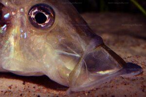 Gros plan sur la bouche de Gnathochromis permaxillaris