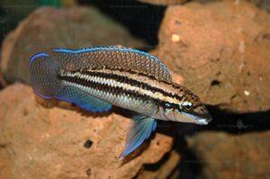 Julidochromis dickfeldi Bxl