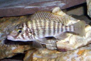 Lobochilotes labiatus.