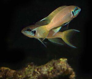 Neolamprologus brichardi (Kashkezi)