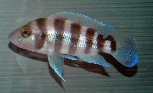 Neolamprologus sexfascaitus (bleu de Zambie)