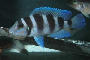 Neolamprologus tretocephalus (Photo de Patrick Tawil).