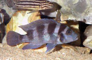 Neolamprologus tretocephalus et Julidochromis regani.