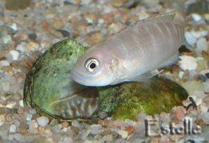 mâle Neolamprologus brevis rentrant dans la coquille après la femelle.