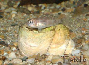 Neolamprologus brevis femelle