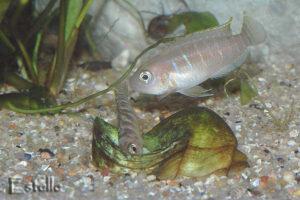 Neolamprologus brevis femelle parade