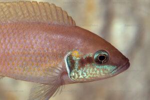 Neolamprologus brichardi de Kashekezi (Congo).