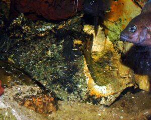 Variabilichromis moorii et alevins.