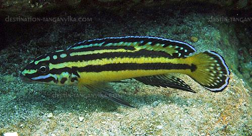 Julidochromis marksmithi