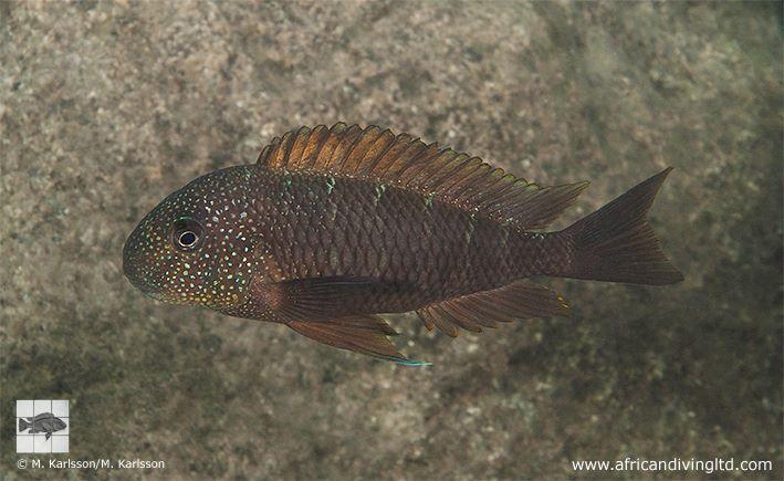 "Tropheus murago ""Tanzania"""