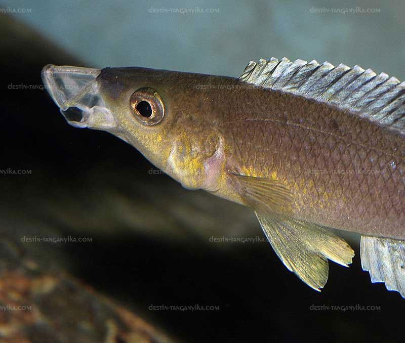 Cyprichromis, bouche protractile