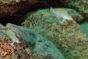 Neolamprologus sp. aff. leloupi