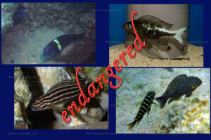 Tropheus duboisi (Kabogo), Ophthalmotilapia boops (Nkondwe), Julidochromis regani (Burundi, Bujumbura), Tropheus sp. Mpimbwe (yellow cheek Kolongwe).