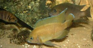Parade de Variabilichromis face à Neolamprologus savoryi.