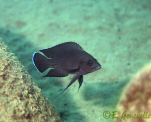 Variabilichromis moorii Eric Genevelle