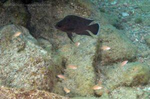 Variabilichromis moorii gardant sont frai.