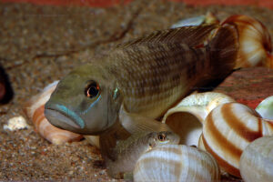 N. callipterus mâle & femelle