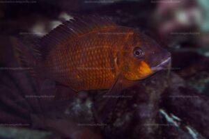 Petrochromis lisachisme