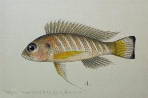 Triglachromis otostigma, à l'origine, planche de description de Limnochromis auritus