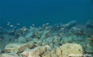 Neolamprologus pulcher et V. moorii Mikongolo island