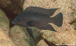Variabilichromis moorii Isinga
