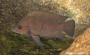 Variabilichromis moorii Kashia