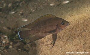 Variabilichromis a Molwe