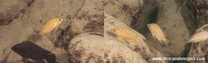 Varaibilichromis moorii à Kapere
