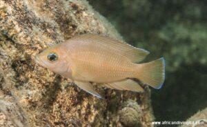 Variabilichromis sub-adulte Kapemba