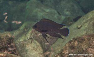 Variabilichromis a Kalubale