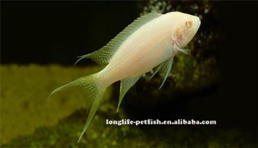Neolamprologus brichardi albinos