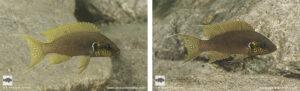 Neolamprologus brichardi Kasola Kapumpuli