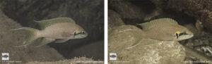 Neolamprologus brichardi Halembe