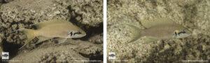 Neolamprologus brichardi Segunga