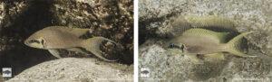 Neolamprologus brichardi Kalyeza