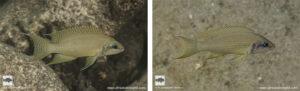 Neolamprologus brichardi Kasisi island