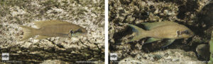 Neolamprologus brichardi Lupote