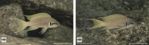 Neolamprologus brichardi Nakiwumbu