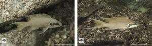 Neolamprologus brichardi Lwilwi