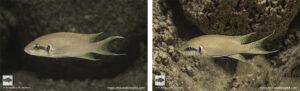 Neolamprologus brichardi Mikongolo