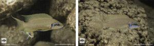 Neolamprologus brichardi Mtosi
