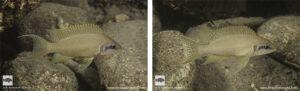 Neolamprologus brichardi Mwila island